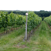 Osečkovaný vinohrad