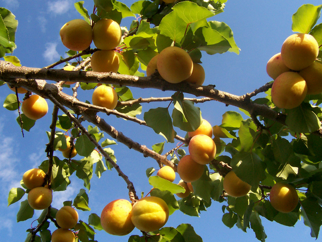 Как из косточки вырастить абрикос? Видео и пошаговая 87