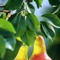 Příznaky nedostatku hořčíku u stromů