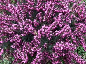 Erica x darleyensis - vřesovec