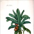 Banánovník