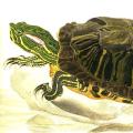 Želva