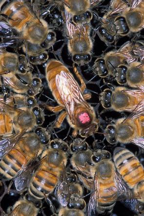 Prodej včelstva