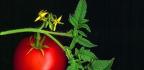 Pěstování rajčat nabalkóně