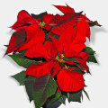 Zálivka vánoční hvězdy