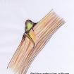 Zdravé očko na jednoletém dřevě musí být na řezu zelené, nikoli hnědé.