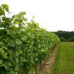 Osečkovaný porost vinice