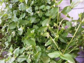 Ptačinec žabinec jako léčivá rostlina