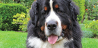 Velký švýcarský salašnický pes