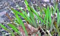 Moření česneku fundazolem