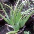Jaká jsou nebezpečí šťávy z Aloe vera?