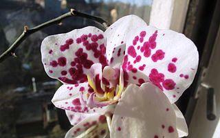 Zalévání orchidejí