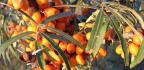 Rakytník - jeho pěstování avyužití