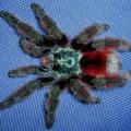 Pavouk avicularia versicolor