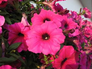 Balkonové rostliny vhodné naplné slunce