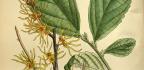 Vilín měkký hamamelis mollis