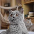 Britská kočka