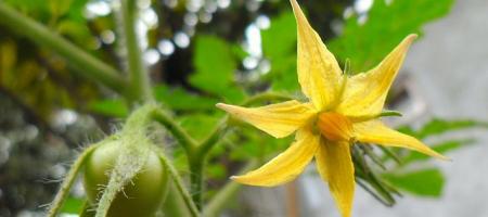 Krytosemenné rajče jedlé