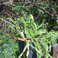 Kaktus rhipsalis