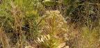 Aeonium ciliatum