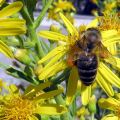 Včely vkvětnu