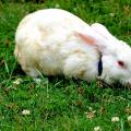 Ukázkové druhy středních plemen králíků chovaných namaso